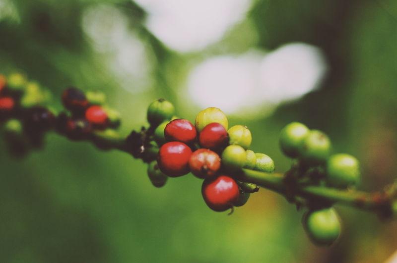 Close-up of cherries on tree