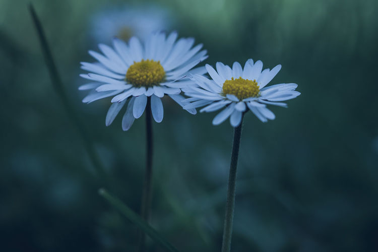 Flowering Plant Flower Freshness Fragility Plant Vulnerability  Growth Petal Beauty In Nature Close-up Flower Head Inflorescence Focus On Foreground Nature White Color No People Pollen Day Daisy Plant Stem Outdoors Sepal The Minimalist - 2019 EyeEm Awards The Great Outdoors - 2019 EyeEm Awards