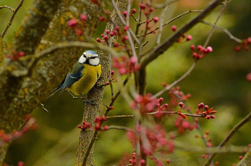 Close-up of blue tit perching on tree branch