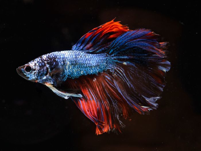 Fancy siamese fighting fish or halfmoon is a beautiful fish that is popular for foreigners.