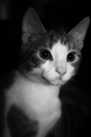 Animal Themes Close-up Day Domestic Animals Domestic Cat Feline Indoors  Looking At Camera Mammal No People One Animal Pets Portrait