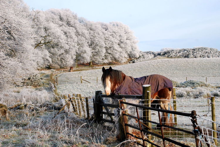Perthshire, Scotland Wintertime Animal Themes Beauty In Nature Day Domestic Animals Field Frosted Trees Grass Horse Landscape Livestock Mammal Nature One Animal Outdoors Pets Real People Shire Horse Shirehorse Sky Standing Tree