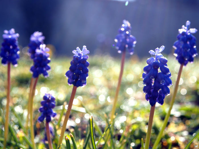 jacinthe muscari flower Plant Flower Flowering Plant Beauty In Nature Vulnerability  Close-up Growth Fragility Purple Freshness Focus On Foreground Plant Stem Nature No People Petal Inflorescence Day Flower Head Selective Focus Outdoors Springtime Dew