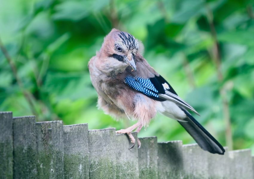 Jay Animal Animal Themes Animal Wildlife Animals In The Wild Bird Boundary Close-up Day Focus On Foreground Nature No People One Animal Outdoors Perching Plant Railing Selective Focus Vertebrate Wood - Material Zoology