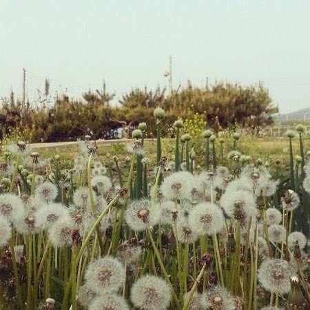 일상 데일리 Daily Flower 꽃 민들레 봄 봄날 흩날리다 주말 소통 선팔 맞팔 소통 인스타그램 민들레의 하루. 바람에 흩날리다.
