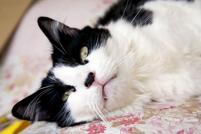 Animal Themes Black And White Cat City Close-up Domestic Animals Domestic Cat Feline Fluffy Focus On Foreground Furry Lying Down Male One Animal Pet Relaxing Resting Whisker Yellow Eyes