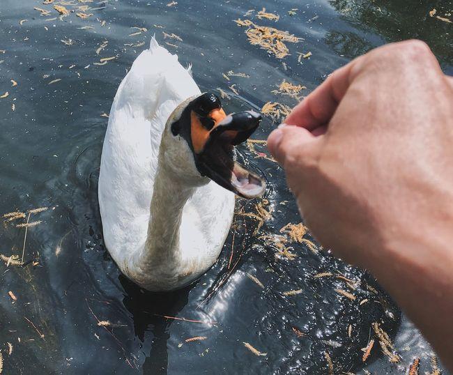High angle view feeding swan in water