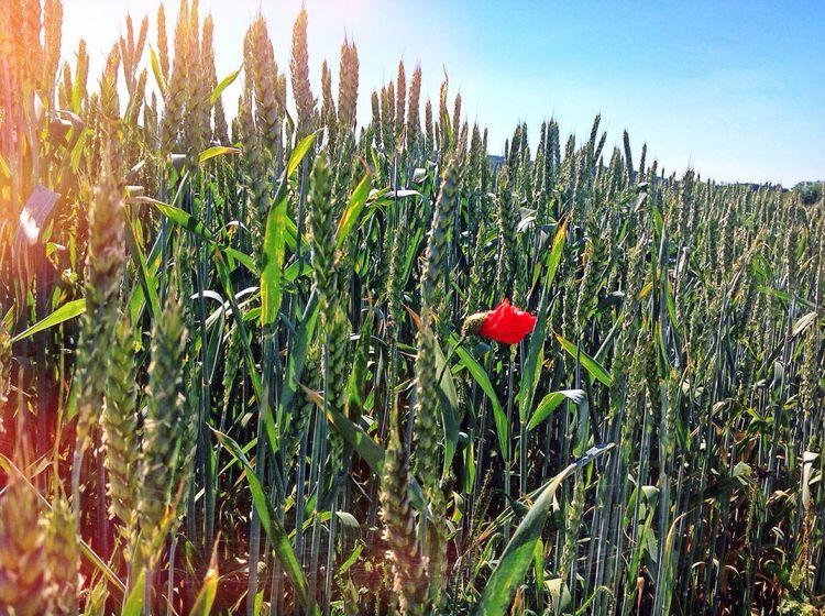Beautiful Nature Grass Flowers Warm Day Poppy Glitch Sunrise Green Grain Field