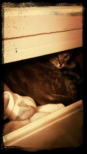 sock drawer cat