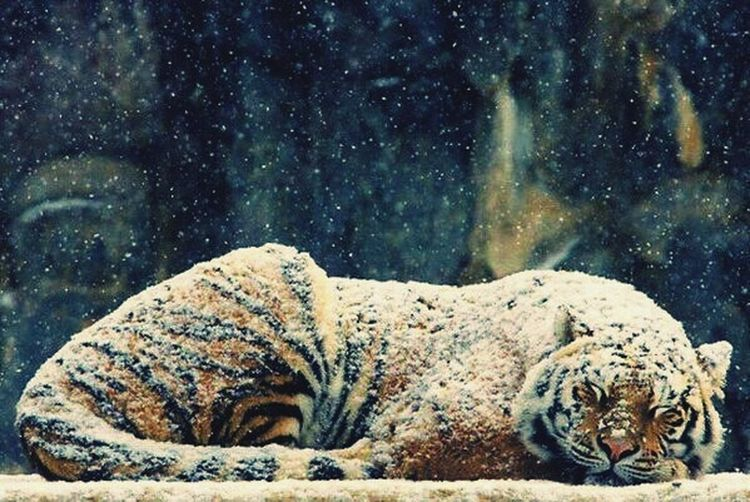 Cold weather today.... Tiger napping on the snow.... Animal Wildlife Tiger Animals In The Wild Outdoors Animal Themes Mammal Nature One Animal