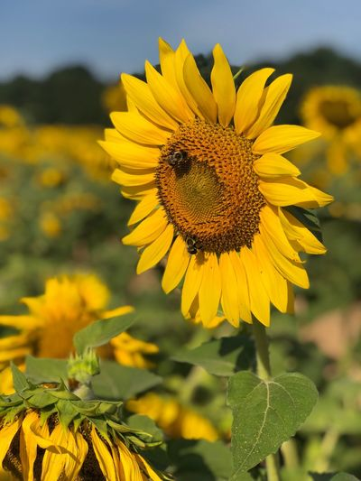 Hello sunflowers EyeEm Selects Flower Flowering Plant Yellow Plant Growth Beauty In Nature Animals In The Wild Vulnerability  Animal Themes Insect Flower Head One Animal Invertebrate Fragility Animal Wildlife Animal Focus On Foreground Petal Close-up Freshness
