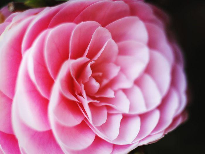 ダリア🌷 Dahlia Flowers Nature Leitz Elmarit Leica Green Canon Photo
