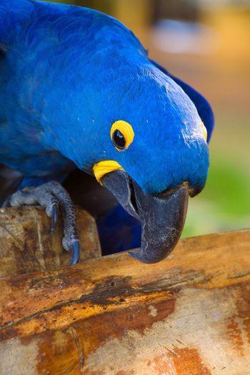 Hyacinth Macaw Macaw Parrot Blue Blue Bird Bird Birds Birdlife Bowing Head Bird Bowing Head Bird Head