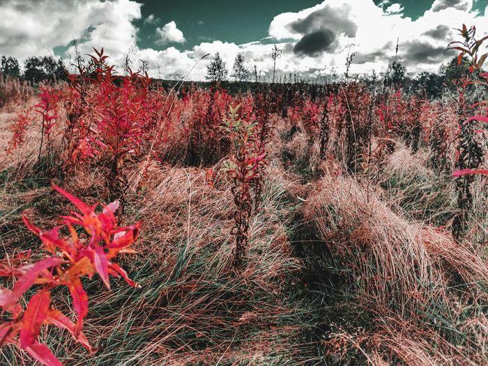 Red flowering plants on field against sky