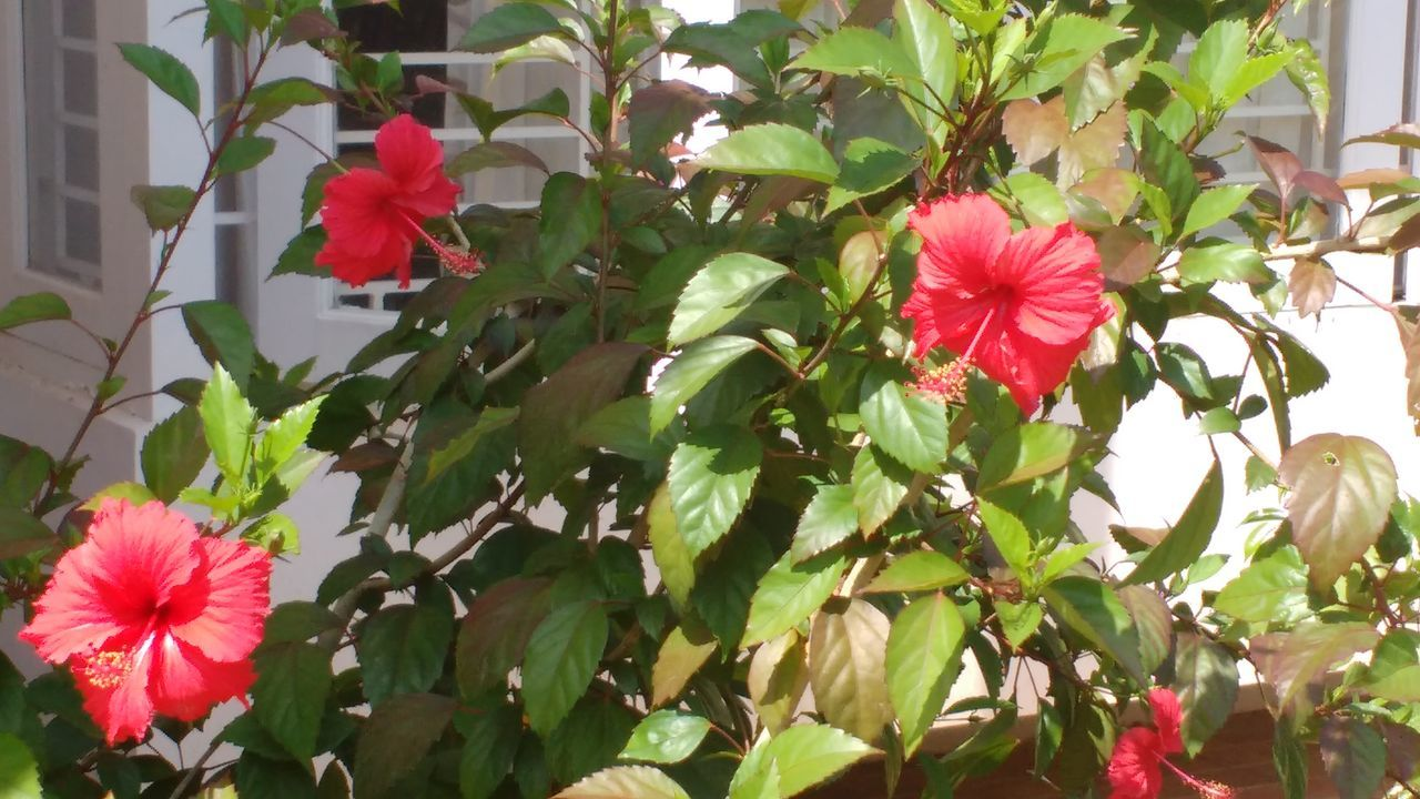flower, growth, petal, beauty in nature, flower head, fragility, plant, freshness, nature, pink color, blooming, leaf, day, no people, green color, red, outdoors, hibiscus, close-up, periwinkle, petunia