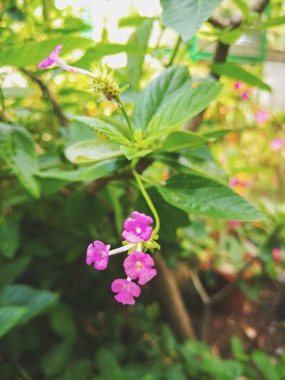 Pink Color Flower Plant Nature Flower Head Leaf No People Outdoors Multi Colored Day Close-up Beauty In Nature Freshness Backgrounds Wallpapers สวยงาม น่ารัก กลิ่นอันหอมหวาน