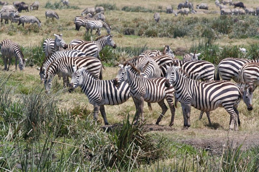 A group of zebras in the Serengeti African Wildlife African Safari Nature_perfection Wild Animal Gamedrives Safari Photography Zebras Wildlife Photography Wildlifephotography Striped Zebra Animal Themes Animal Animals In The Wild Animal Wildlife Group Of Animals Safari Grass Herd Beauty In Nature Nature