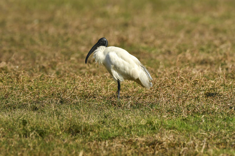 Side view of a bird on field