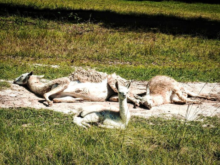 Relaxing Llama Stretching Dirt Bath Outdoors Napping Relaxing Shadow Sunlight High Angle View Field Grass Ground Sleeping