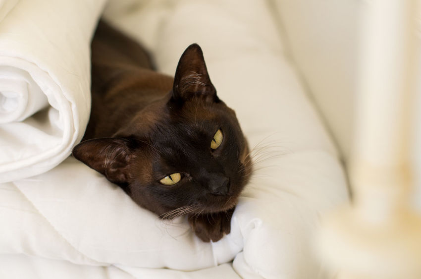 Animal Themes Bed Blanket Brown Cat  Burmese Cat Cat Close-up Day Domestic Animals Domestic Cat Feline Indoors  One Animal Pets Portrait Yellow Eyes
