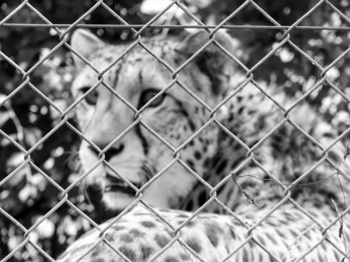 Close-up of cheetah seen through chainlink fence
