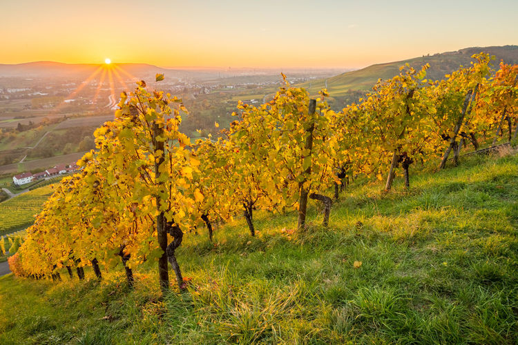 Sunbeams in a vineyard with autumn colors Autumn Autumn Colors German Remstal Vines Autumn Beauty In Nature Day Fall Field Grass Growth Landscape Nature Outdoors Scenics Season  Sky Sun Sunbeams Sunset Tranquil Scene Tranquility Tree Vineyard