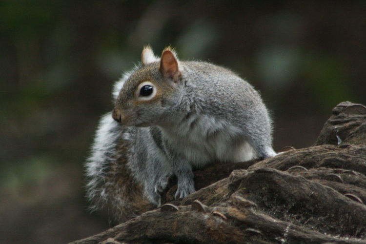 Grey Squirrel Grey Squirrel On Tree Trunk In Park Nature Photography Nature Wildlife Animal Wildlife Animals In The Wild Rodent One Animal Mammal Animal Themes Squirrel Outdoors Close-up Day Nature No People