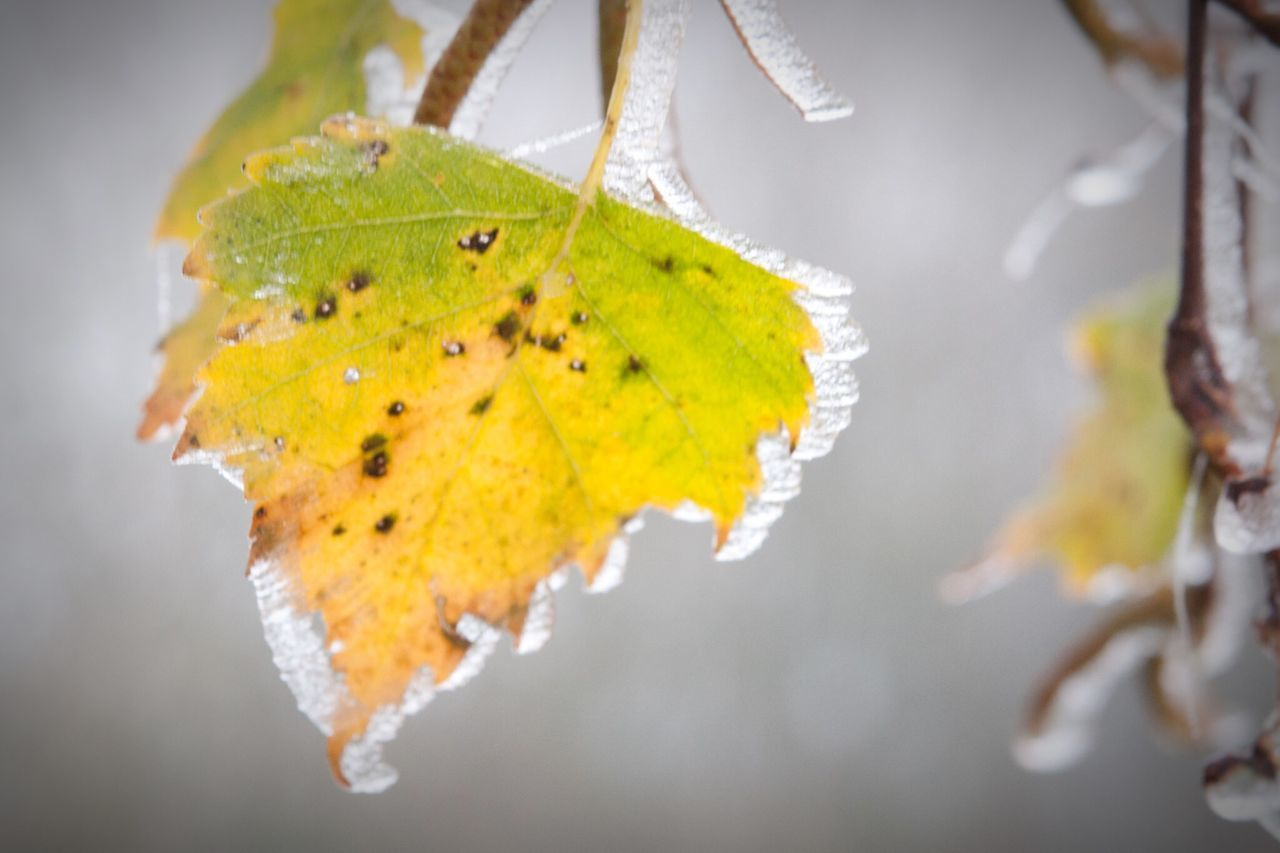 leaf, autumn, change, close-up, focus on foreground, nature, green color, no people, beauty in nature, outdoors, day, growth, water, maple leaf, fragility, maple, freshness