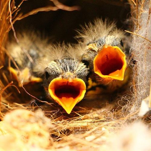 Passaros Birds Nature Life Puppies Natureza Vida Filhotes  Ninho Nest Macro Bemtevi Brasil Canon T5i with Canon 18-135mm Can_nat Nature Canon_photos @viewbug Viewbug Viewbugfeature Smallthings Smallthingsinnature