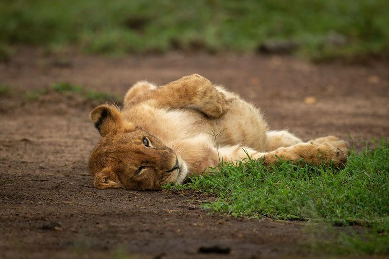 Close-up of lion cub lying on back