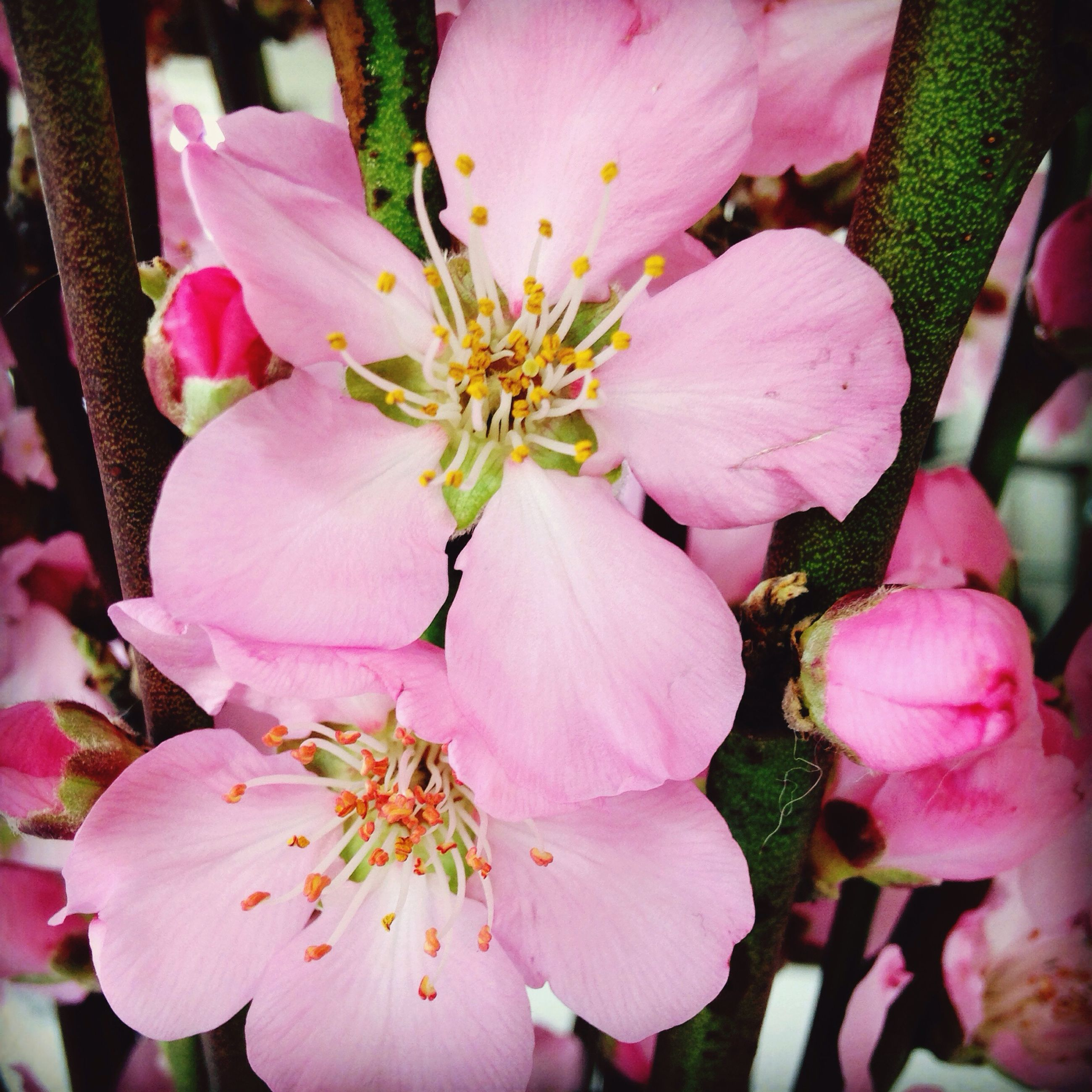flower, freshness, petal, pink color, fragility, growth, beauty in nature, flower head, nature, close-up, blooming, in bloom, blossom, pink, stamen, plant, focus on foreground, botany, springtime, outdoors