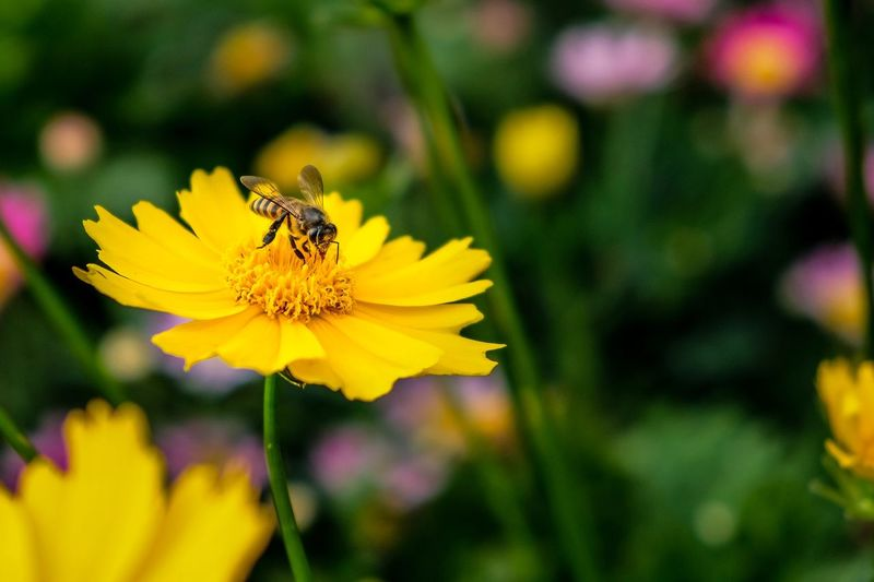Bee and yellow