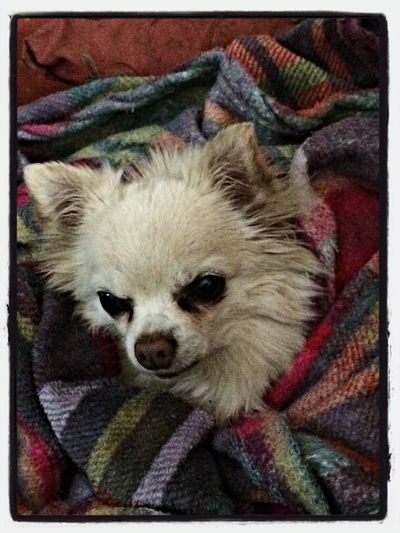 it's cold in Sandton this morning That's Me Billy Chihuahua