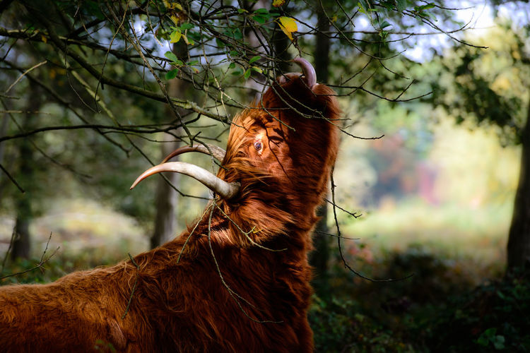 Highland cattle by tree in forest