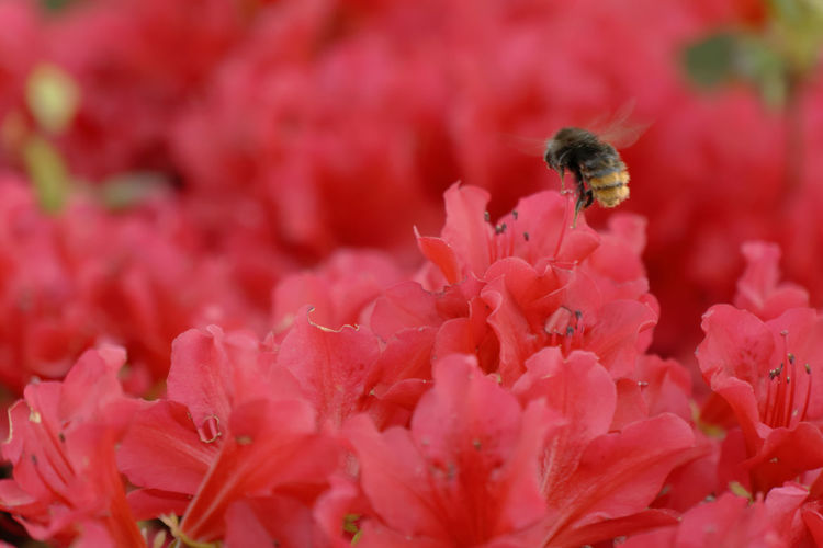 Close-Up Of Honey Bee On Red Flowers