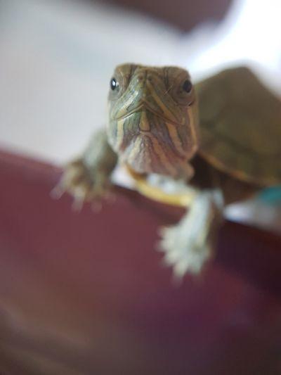 18 июля 2017 г. 12:29 (July 18, 2017 12:29) Torture черепаха Tortoise Shell Reptile Tortoise Portrait UnderSea Looking At Camera Confined Space Close-up Animal Eye Sea Turtle