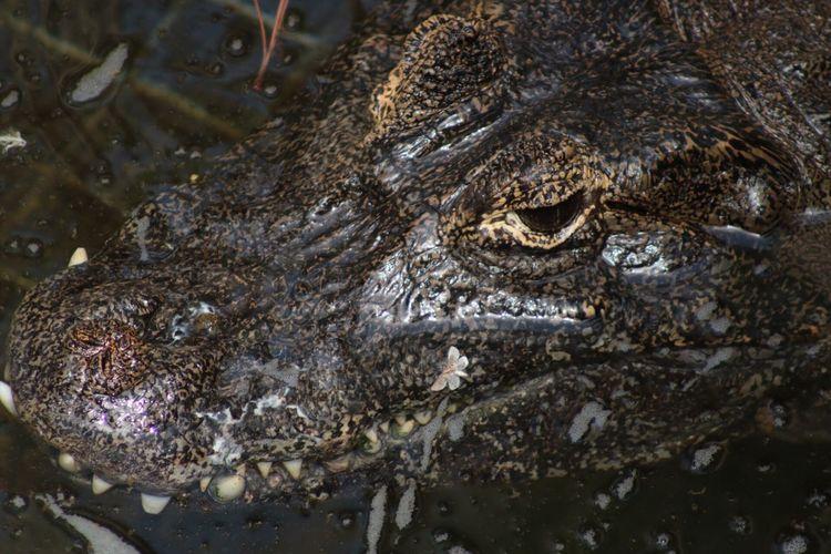 Maximum Closeness crocodile