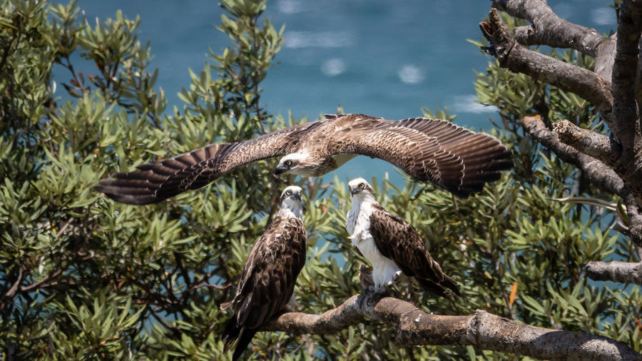 Ospreys on tree against sea