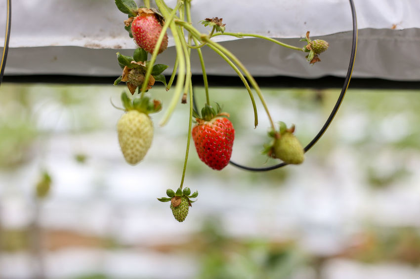 Strawberry Strawberries Fruit Healthy Eating Food And Drink Food Focus On Foreground Freshness Growth No People Close-up Day Plant Wellbeing Red Nature Outdoors Berry Fruit Ripe Leaf Plant Part Beauty In Nature Green Color