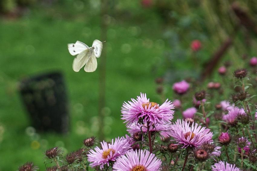 Blume Blumen Frühling Insekten Schaumburg Schmetterling Schmetterlinge - Butterflies Vornhagen Butterfly Butterfly - Insect Flower Flower Head Insect Insekt EyeEmNewHere