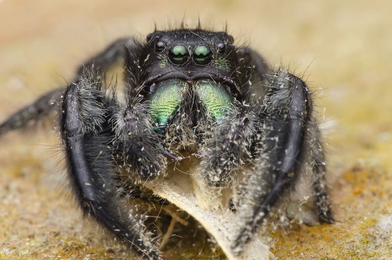 jumping spider,