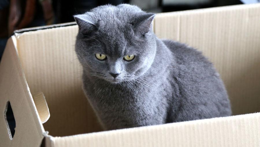 Bkh British Shorthair Britishshorthair Karthäuser Süße Katze süßer kater Süßer Kater Box Karton