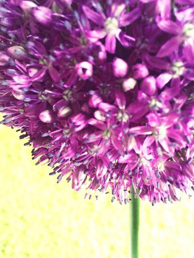 Flowers Alium
