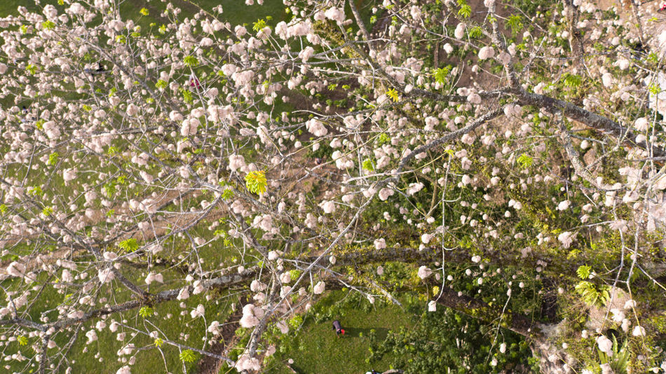 Cotton Tree Cotton Tree Beauty In Nature Blossom Branch Close-up Cotton Day Flower Fragility Freshness Grass Growth Nature No People Outdoors Plant Springtime Tree