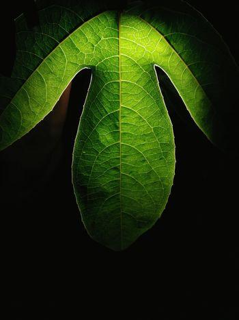 Leaf Nature Nature Photography Green Night Backlight Shutterbug India Agartala