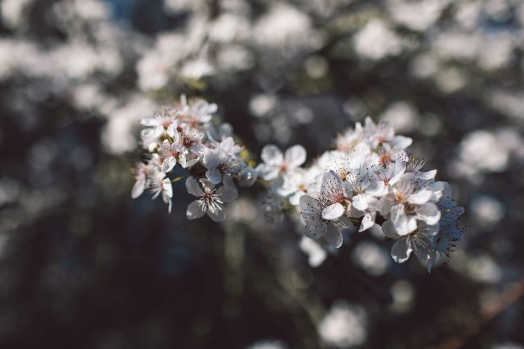 Flower Flowering Plant Fragility Plant Freshness Vulnerability  Beauty In Nature Growth Blossom Close-up Day White Color Springtime Nature Tree Selective Focus Branch Focus On Foreground Petal No People Flower Head Cherry Blossom Outdoors Pollen Cherry Tree
