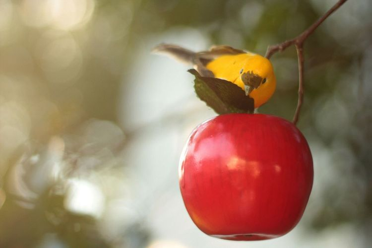 Nature Red Close-up Fruit Yellow Beauty In Nature Birds Bird Photography