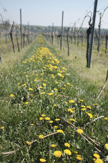 Green vineyard in Deidesheim, Germany Beauty In Nature Biological Food Close-up Day Deidesheim Field Flower Focus On Foreground Forst Fragility Freshness Green Color Growth Nature No People Outdoors Plant Riesling Scenics Springtime Tranquility Tree Vineyard Wine Yellow