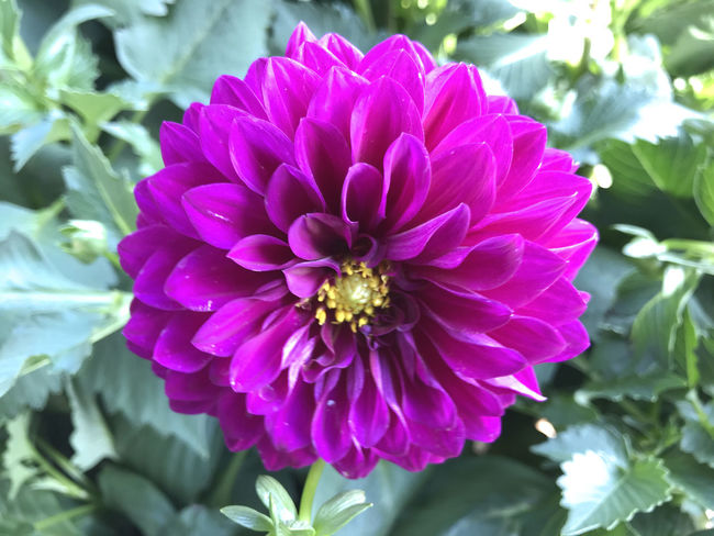 Flowers in the garden under spring Nature Beaty Beauty In Nature Close-up Dahlia Day Flower Flower Head Flowering Plant Focus On Foreground Fragility Freshness Garden Growth Inflorescence Nature No People Petal Pink Color Plant Pollen Purple Season  Spring Vulnerability