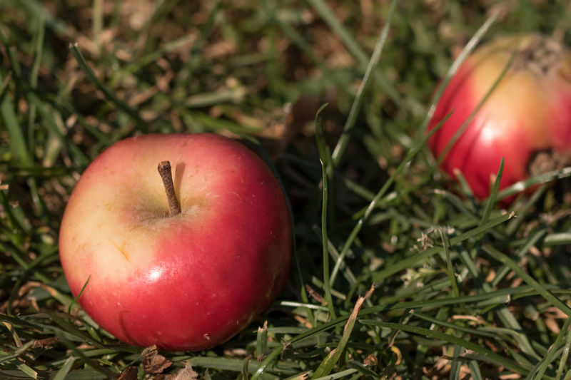 Two small apples in the grass, that have fallen (Newton's law still works) Apple Apples Close-up Grass Ground Macro Macro Beauty Macro Nature Macro Photography Macro_captures Macro_collection Macrophotography